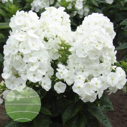 Walter Blom Plants Phlox p Younique White
