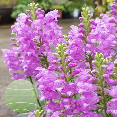 Walter Blom Plants Physostegia Autumn Carnival