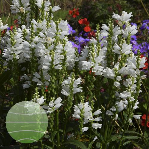 Walter Blom Plants Physostegia Miss Manners