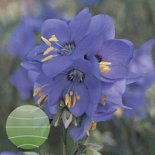 Walter Blom Plants Polemonium Bress Purple