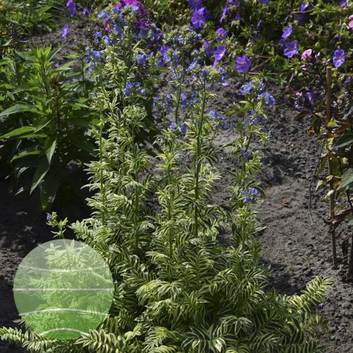 Walter Blom Plants Polemonium Brise D'Anjou