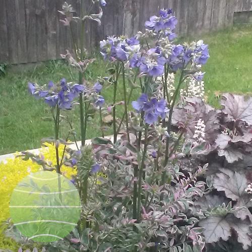 Walter Blom Plants Polemonium Kaleidoscope