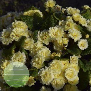 Walter Blom Plants Primula Barnhaven Bonheur