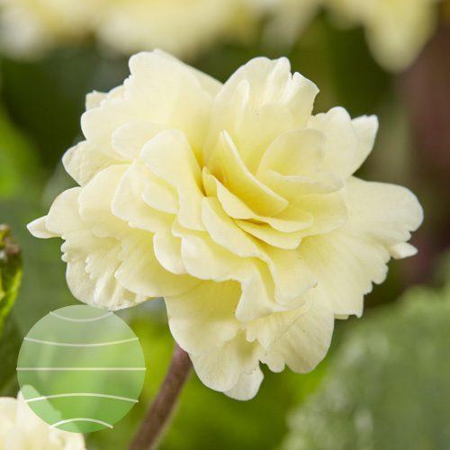 Walter Blom Plants Primula Barnhaven Creme de Tregor