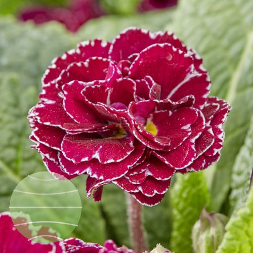 Walter Blom Plants Primula Frou Frou