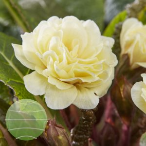 Walter Blom Plants Primula Guernsey Cream