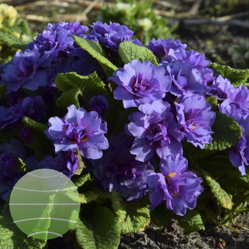 Walter Blom Plants Primula Barnhaven Purple Storm