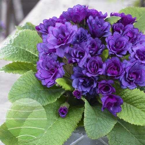Primula Barnhaven Purple Storm