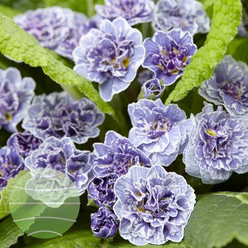 Walter Blom Plants Primula Vintage