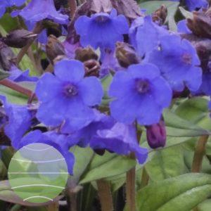 Walter Blom Plants Pulmonaria Blue Ensign