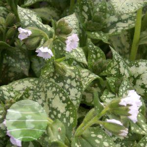 Walter Blom Plants Pulmonaria Moonshine