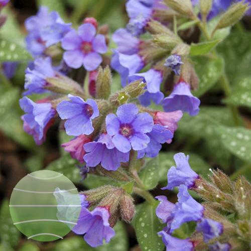 Walter Blom Plants Pulmonaria Trevi Fountain