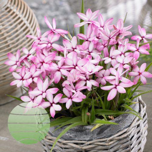 Walter Blom Plants Rhodoxis Candy