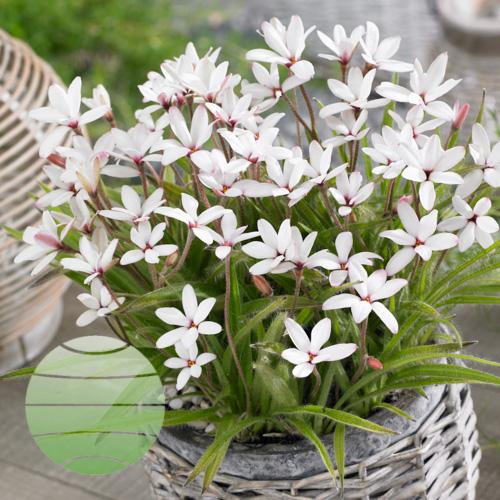 Walter Blom Plants Rhodoxis Peppermint