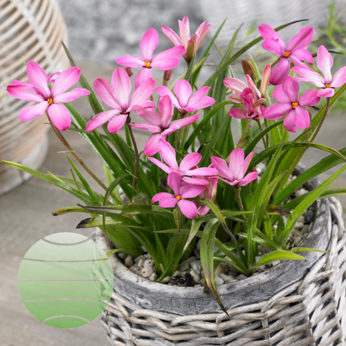 Walter Blom Plants Rhodoxis Pink Blush