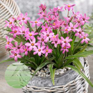 Walter Blom Plants Rhodoxis Pinky