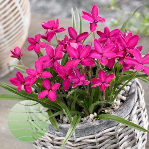 Walter Blom Plants Rhodoxis Ruby