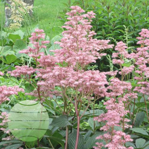 Walter Blom Plants Rodgersia pinnata Superba