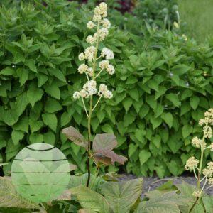 Walter Blom Plants Rodgersia podophylla Braunlaub