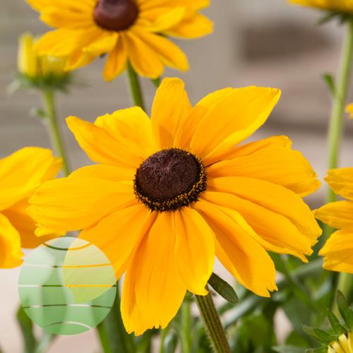 Walter Blom Plants Rudbeckia Golden SmileyZ