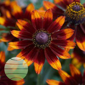 Walter Blom Plants Rudbeckia Happy SmileyZ