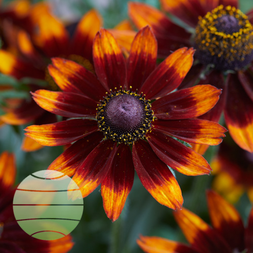 Walter Blom Plants Rudbeckia Happy SmileyZ