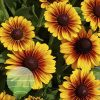 Rudbeckia Kissing SmileyZ Imp 2016-29 278-240-159 20170710 2