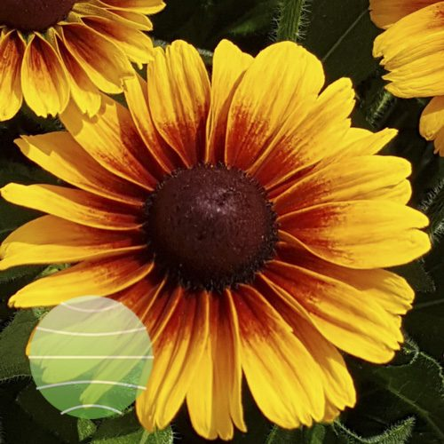 Rudbeckia Kissing SmileyZ