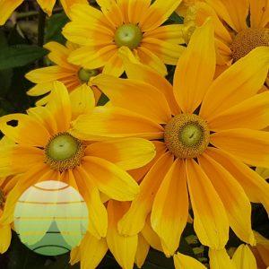Walter Blom Plants Rudbeckia Lemon SmileyZ