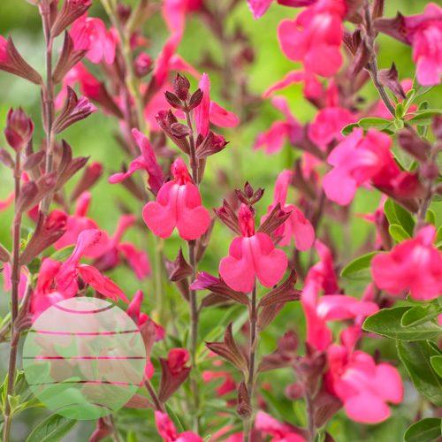 Walter Blom Plants Salvia Arctic Blaze Fuchsia