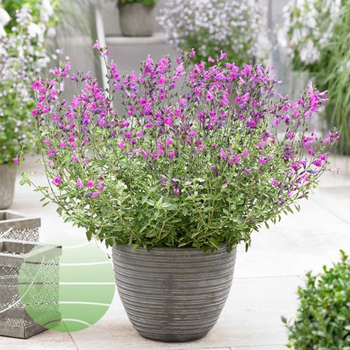 Salvia Arctic Blaze Purple
