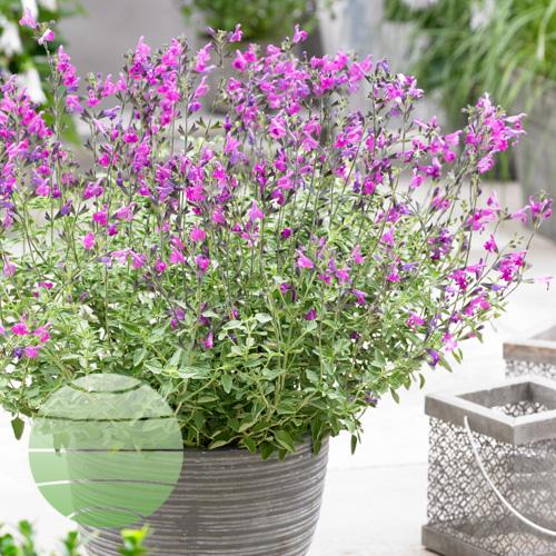 Walter Blom Plants Salvia Arctic Blaze Purple
