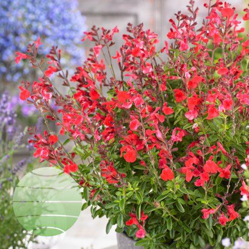 Walter Blom Plants Salvia Arctic Blaze Red