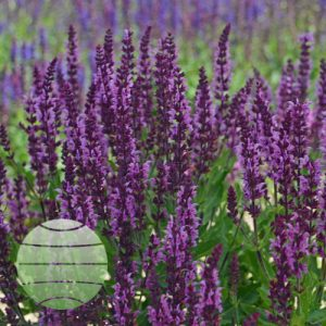 Walter Blom Plants Salvia Bumbleberry