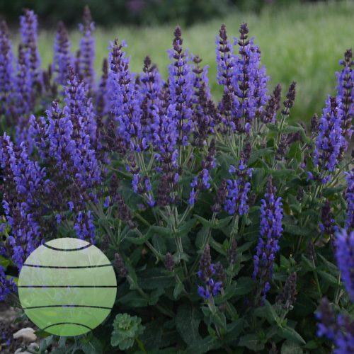 Walter Blom Plants Salvia Bumbleblue