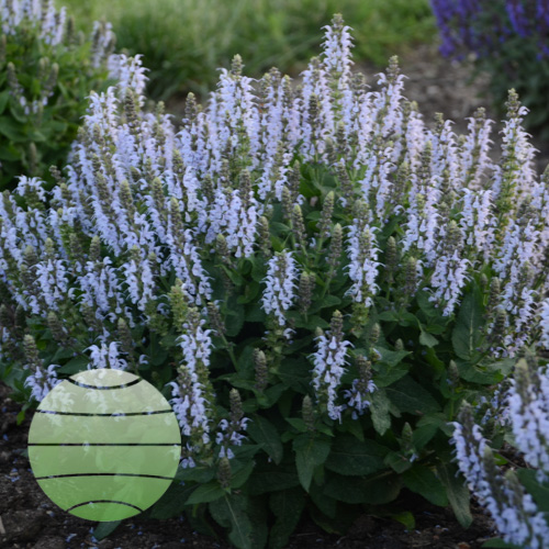 Walter Blom Plants Salvia Bumblesky