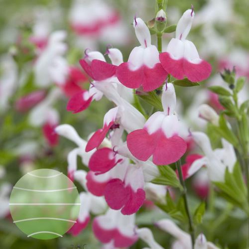 Walter Blom Plants Salvia microphylla Hot Lips