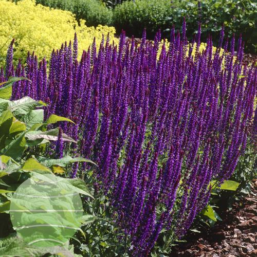 Walter Blom Plants Salvia nemorosa Mainacht