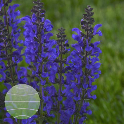 Walter Blom Plants Salvia Midnight Model