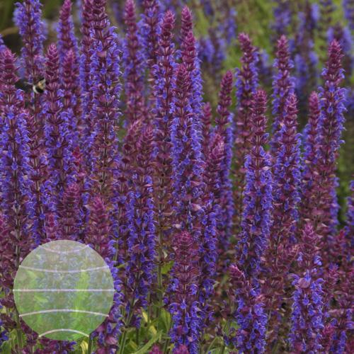 Walter Blom Plants Salvia nemorosa Ostfriesland