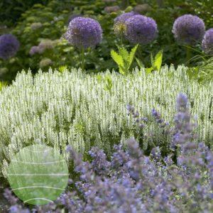 Walter Blom Plants Salvia nemorosa Schneehugel