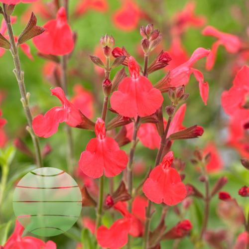Walter Blom Plants Salvia Fire Dancer