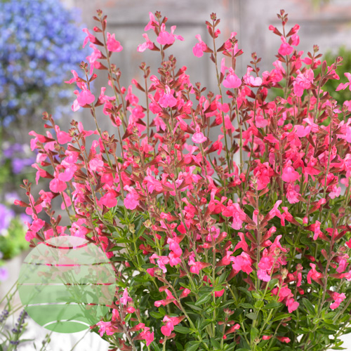 Walter Blom Plants Salvia Flamenco Rose