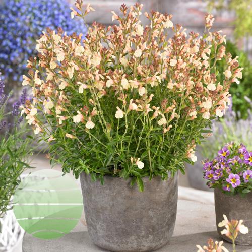 Walter Blom Plants Salvia Golden Girl