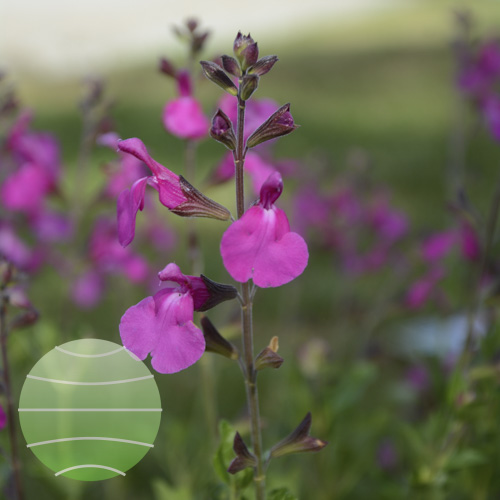 Salvia Suncrest Orchid Glow