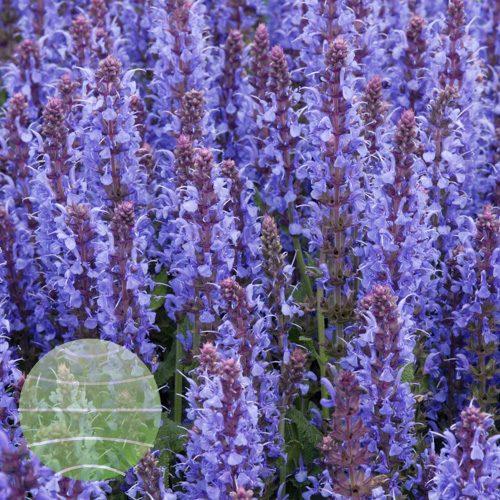 Walter Blom Plants Salvia nemorosa Blauhugel