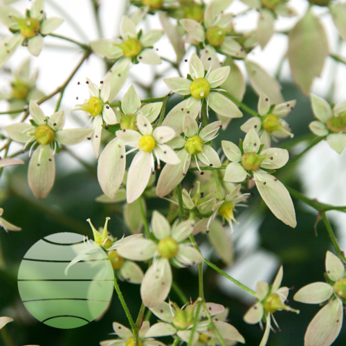 Walter Blom Plants Saxifraga Ayano