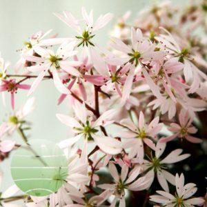 Walter Blom Plants Saxifraga Akiko