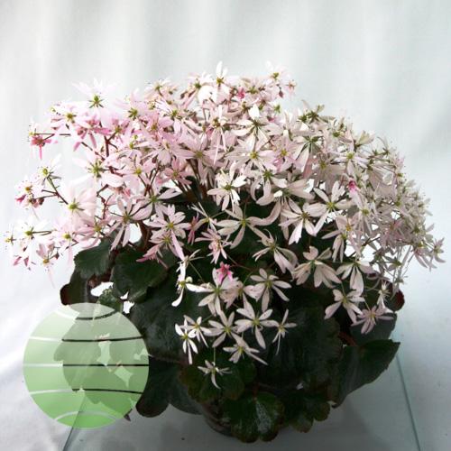 Saxifraga Akiko