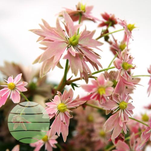 Walter Blom Plants Saxifraga Akemi